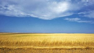 sask-wheat-field